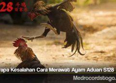 Beberapa Kesalahan Cara Merawat Ayam Aduan S128