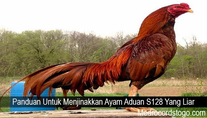Panduan Untuk Menjinakkan Ayam Aduan S128 Yang Liar
