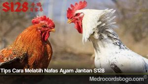 Tips Cara Melatih Nafas Ayam Jantan S128