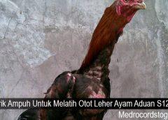 Trik Ampuh Untuk Melatih Otot Leher Ayam Aduan S128