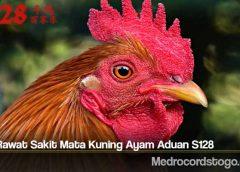 Tips Rawat Sakit Mata Kuning Ayam Aduan S128